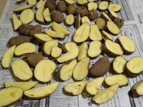 私のまめつぶ自給農園2016 Vol.3じゃが芋を植えました_b0206037_09432903.jpg