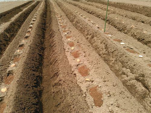 私のまめつぶ自給農園2016 Vol.3じゃが芋を植えました_b0206037_09443104.jpg