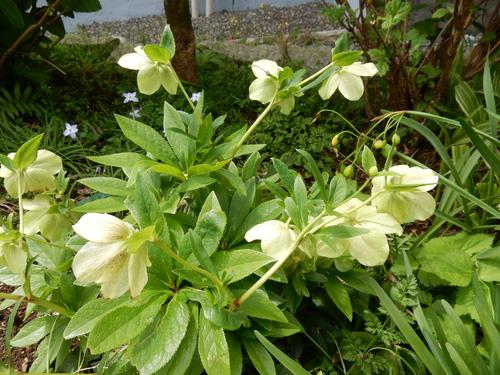 '16,4,24(日)おうちの花壇の花!_f0060461_735948.jpg