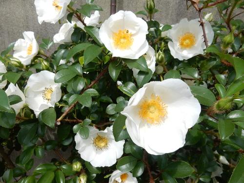 '16,4,24(日)おうちの花壇の花!_f0060461_739296.jpg