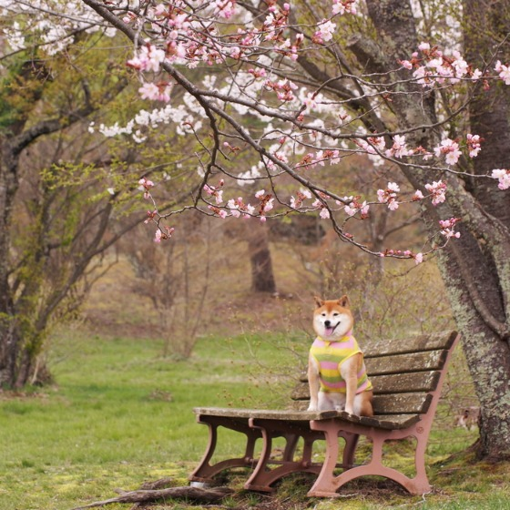 塩沢湖でお花見できちゃいました!_a0104074_22265463.jpg