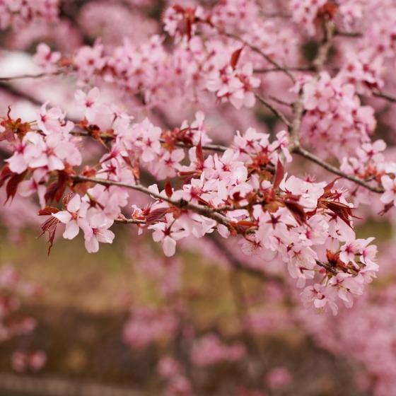塩沢湖でお花見できちゃいました!_a0104074_22271877.jpg