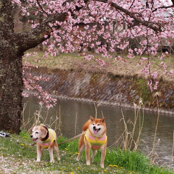 塩沢湖でお花見できちゃいました!_a0104074_22274550.jpg