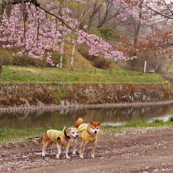 塩沢湖でお花見できちゃいました!_a0104074_22285878.jpg