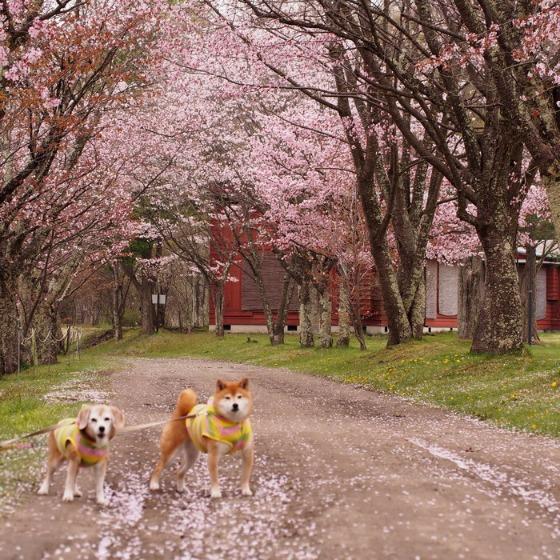 塩沢湖でお花見できちゃいました!_a0104074_22292074.jpg