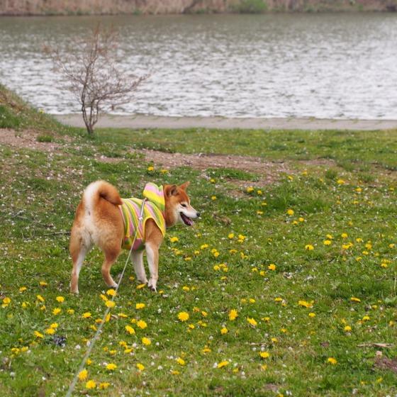 塩沢湖でお花見できちゃいました!_a0104074_22305027.jpg