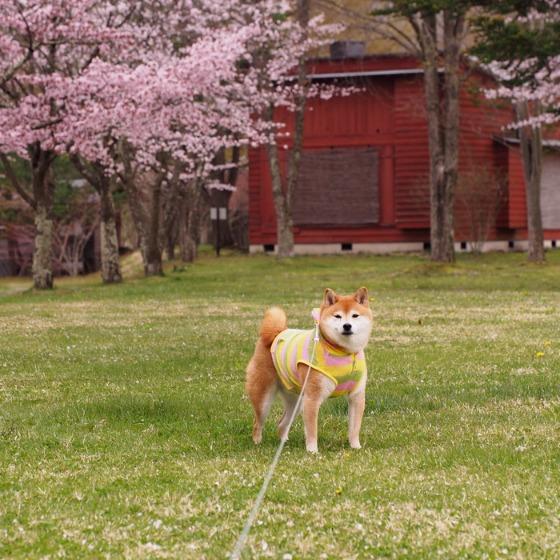 塩沢湖でお花見できちゃいました!_a0104074_2230593.jpg
