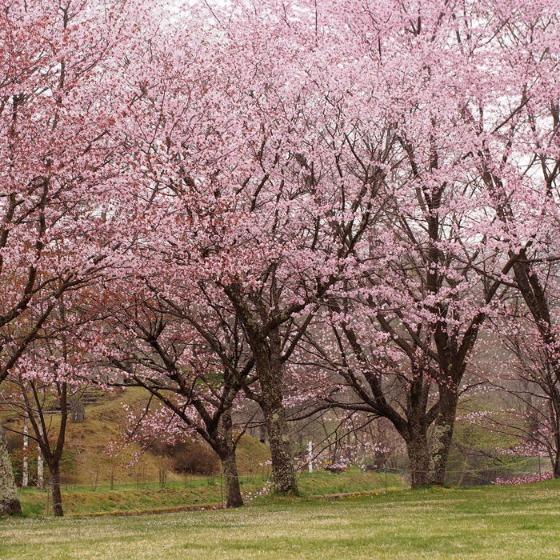 塩沢湖でお花見できちゃいました!_a0104074_22333838.jpg