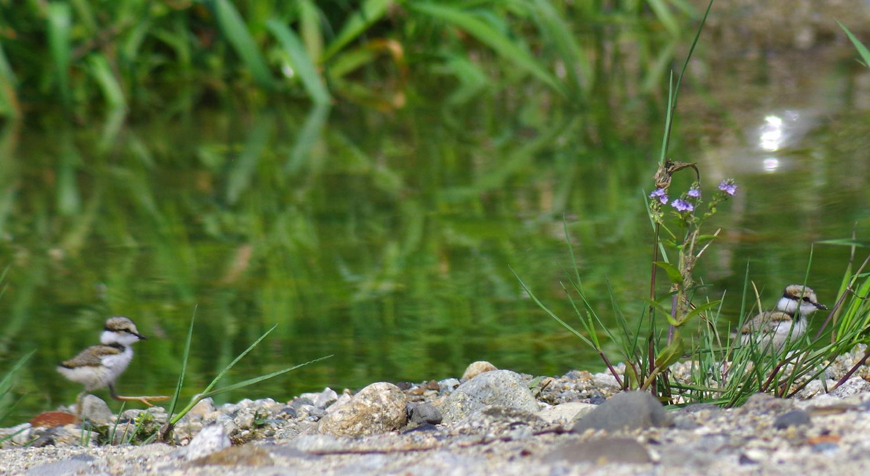 可愛いコチドリの幼鳥_e0254493_2228750.jpg