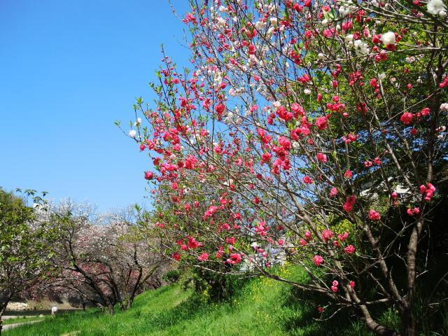 ハナモモ咲きだした♪・・・P7700とG9Ⅹを比べる巻_f0100593_12355578.jpg
