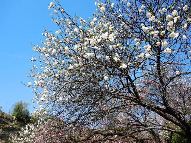 ハナモモ咲きだした♪・・・P7700とG9Ⅹを比べる巻_f0100593_12360126.jpg