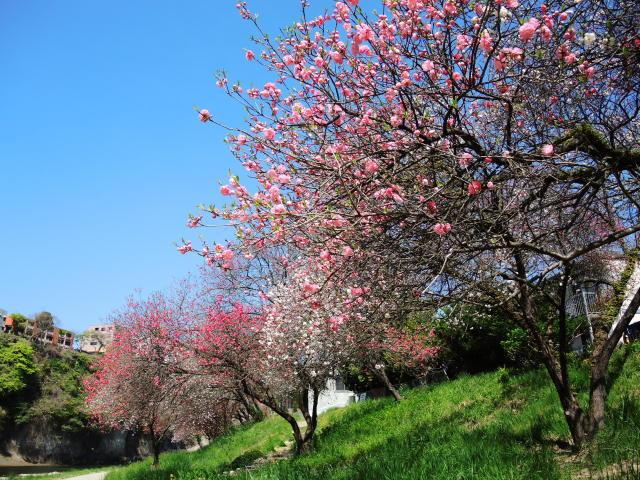 ハナモモ咲きだした♪・・・P7700とG9Ⅹを比べる巻_f0100593_12362901.jpg