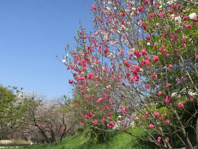 ハナモモ咲きだした♪・・・P7700とG9Ⅹを比べる巻_f0100593_12451379.jpg