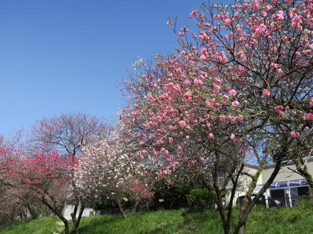 ハナモモ咲きだした♪・・・P7700とG9Ⅹを比べる巻_f0100593_12451773.jpg