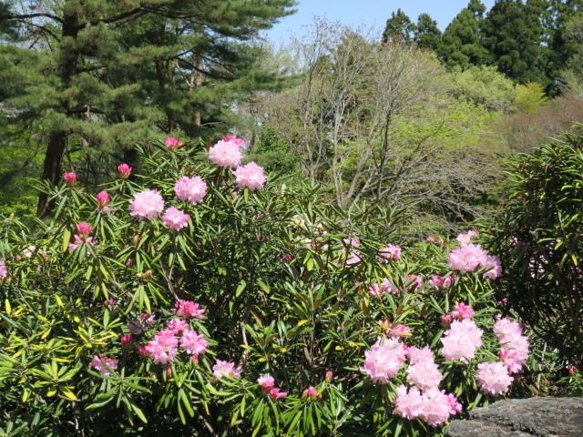 ハナモモ咲きだした♪・・・P7700とG9Ⅹを比べる巻_f0100593_12454668.jpg