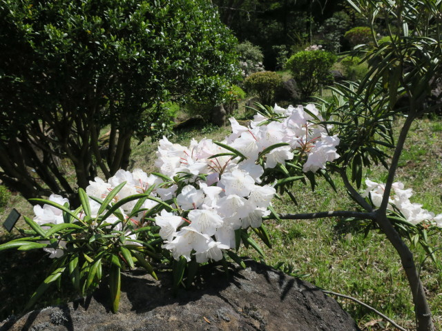ハナモモ咲きだした♪・・・P7700とG9Ⅹを比べる巻_f0100593_12460272.jpg