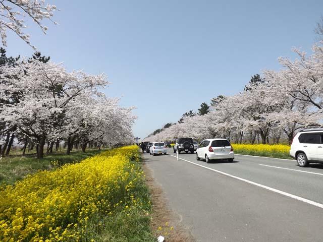 秋田県大潟村菜の花ロード_f0019498_176395.jpg