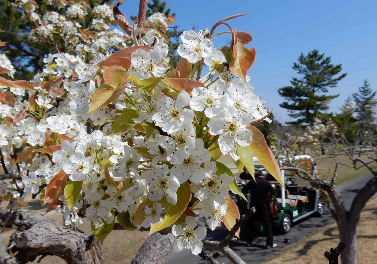 梨の花を眺めながら、鶯の声を聞きながら_a0148206_21294912.jpg