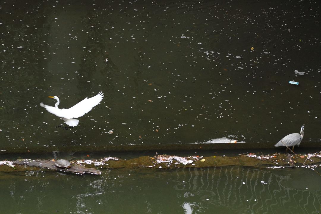 桜散る水面にサギ2羽_b0190710_22303188.jpg
