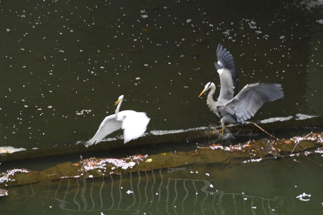 桜散る水面にサギ2羽_b0190710_223061.jpg