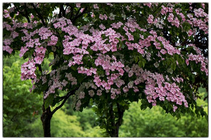 ヤマボウシ(紅花)_d0111087_04382355.jpg