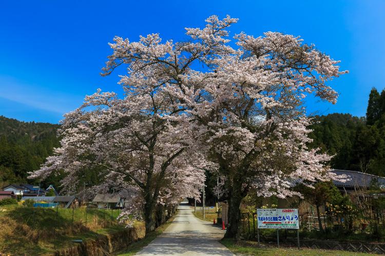 京北の桜_e0051888_5585716.jpg