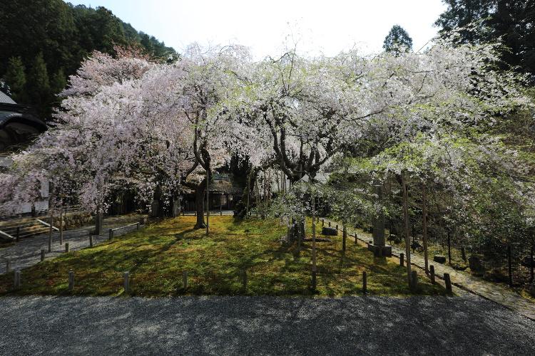 京北の桜_e0051888_5592153.jpg