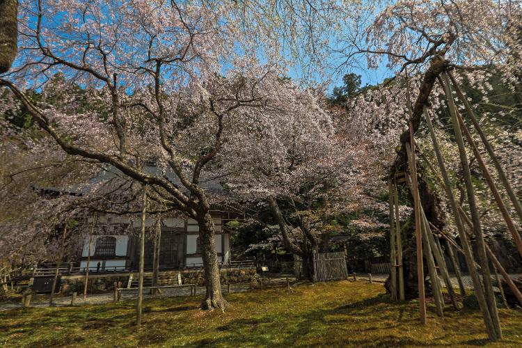 京北の桜_e0051888_5593536.jpg