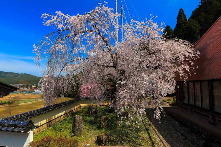 京北の桜_e0051888_604598.jpg