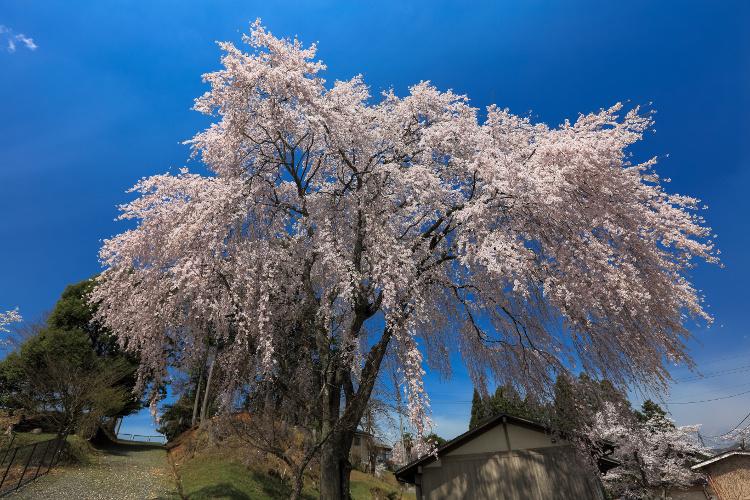 京北の桜_e0051888_61526.jpg