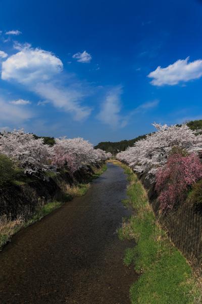 京北の桜_e0051888_62354.jpg