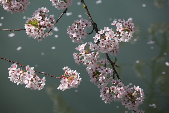 弘前公園の桜_f0150893_18305240.jpg