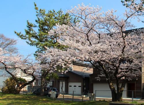 木3階建てと満開の桜24日_e0054299_10473132.jpg