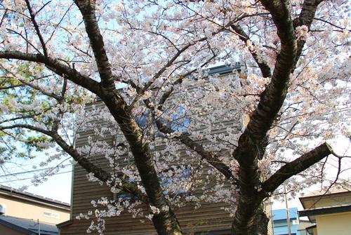 木3階建てと満開の桜24日_e0054299_10524157.jpg