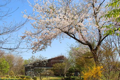 アトリエの桜満開25日_e0054299_1111276.jpg