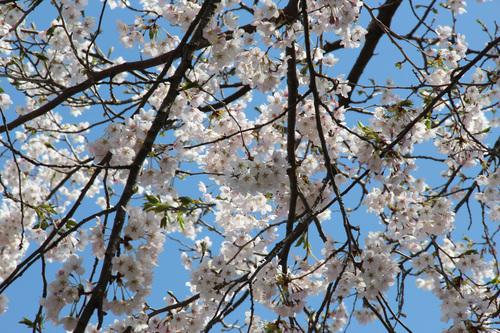 アトリエの桜満開25日_e0054299_1113285.jpg