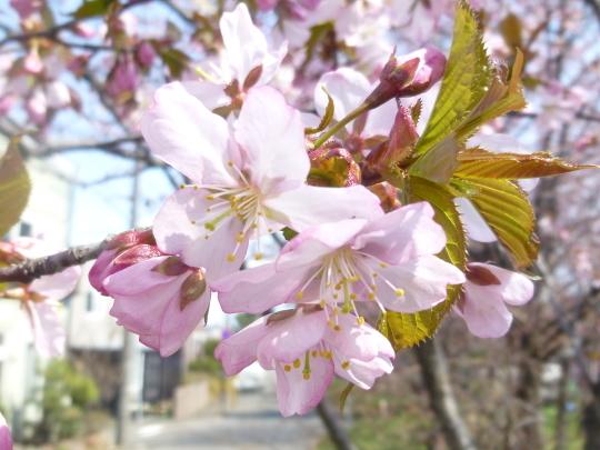 桜の開花宣言_b0198109_22033571.jpg