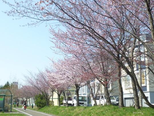 桜の開花宣言_b0198109_22034951.jpg