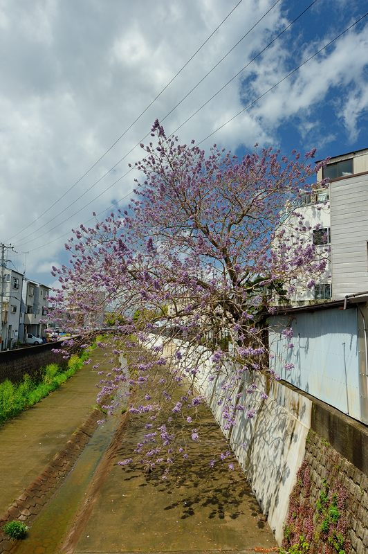 近所の桐の花_f0032011_1943559.jpg