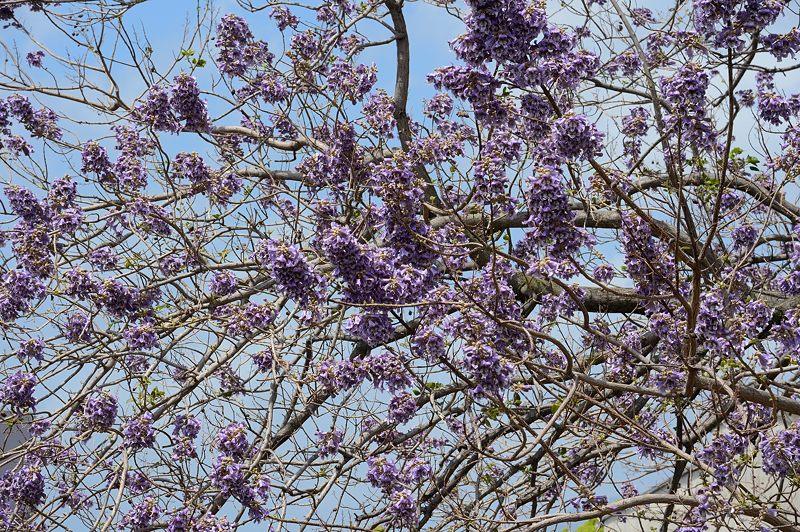 近所の桐の花_f0032011_1944973.jpg