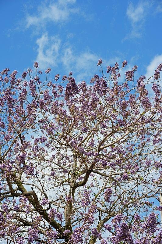 近所の桐の花_f0032011_19452235.jpg