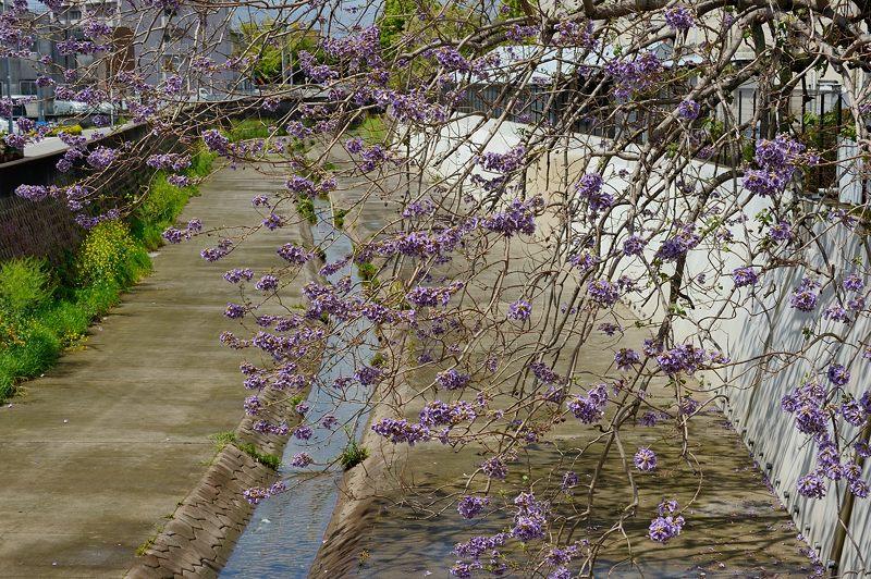 近所の桐の花_f0032011_19453027.jpg