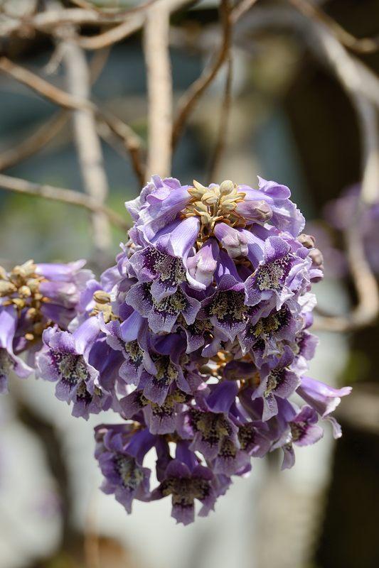 近所の桐の花_f0032011_19454353.jpg