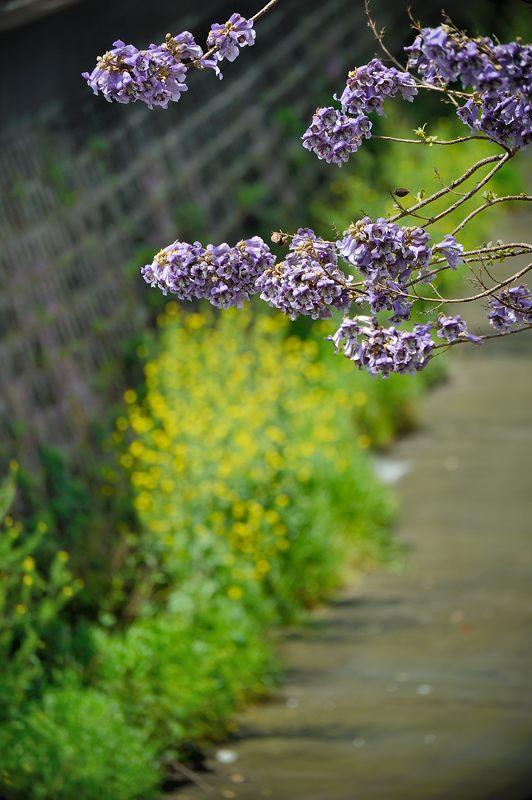 近所の桐の花_f0032011_1946340.jpg