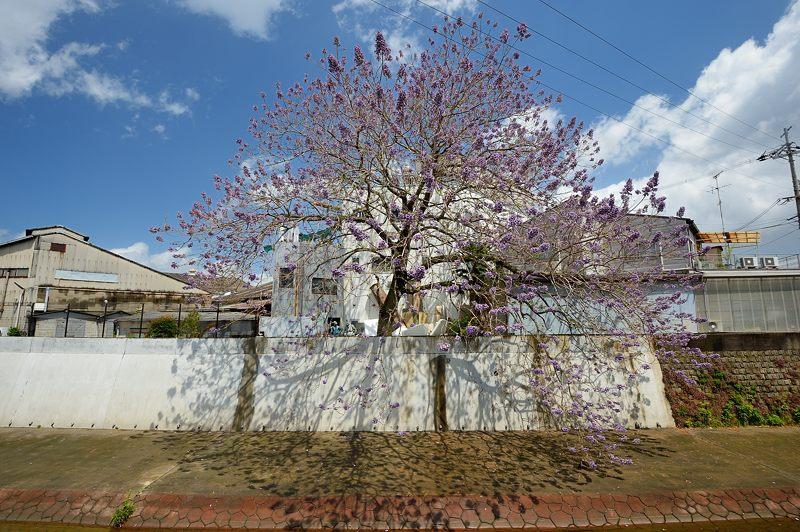 近所の桐の花_f0032011_1947038.jpg