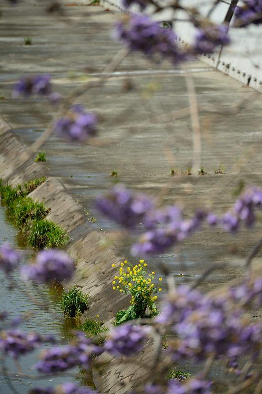 近所の桐の花_f0032011_19471172.jpg