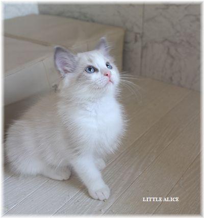 ☆ラグド-ルの仔猫・・ママ譲りのお転婆ちゃん。_c0080132_1147356.jpg