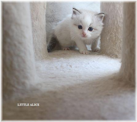 ☆ラグド-ルの仔猫・・ママ譲りのお転婆ちゃん。_c0080132_1147680.jpg