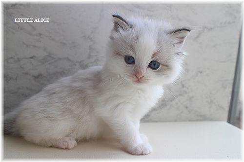 ☆ラグド-ルの仔猫・・ママ譲りのお転婆ちゃん。_c0080132_1156202.jpg