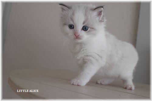 ☆ラグド-ルの仔猫・・ママ譲りのお転婆ちゃん。_c0080132_11572498.jpg